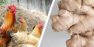Ginger for Chickens: Benefits & How to Prepare