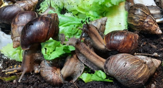 Snail Food and Feed